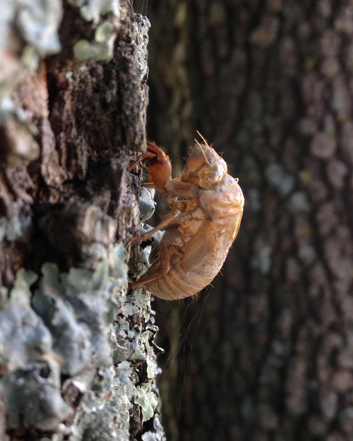 Cicada nymph shell.